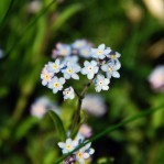 forget-me-not_sq2
