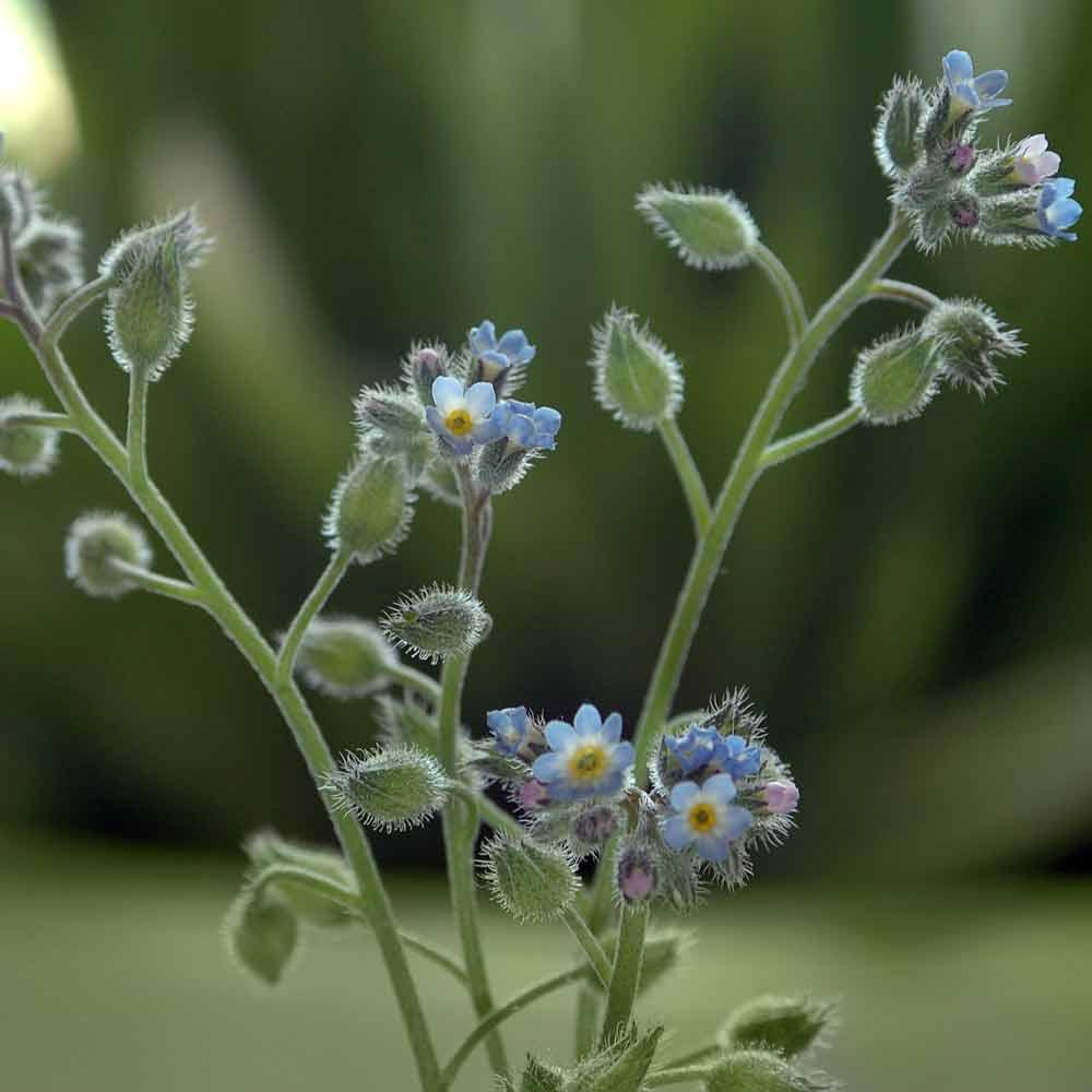 Forget me not flowers, Förgät Mig Ej blommor